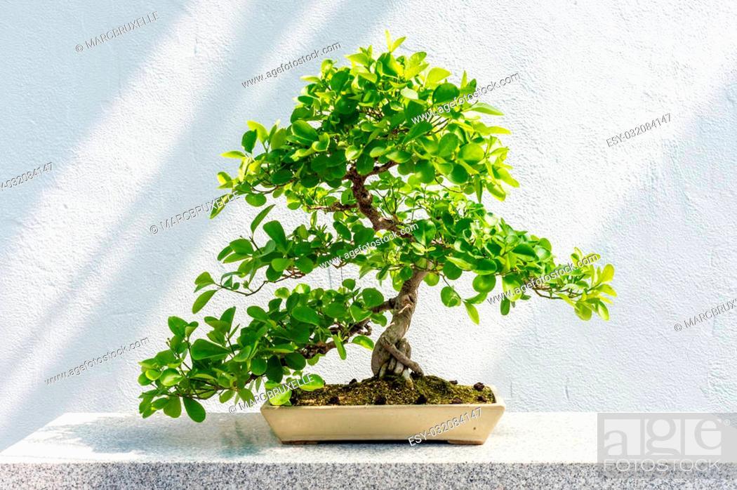 Stock Photo: Euonymus fortunei Bonsai (Wintercreeper euonymus) - 40 years old tree.