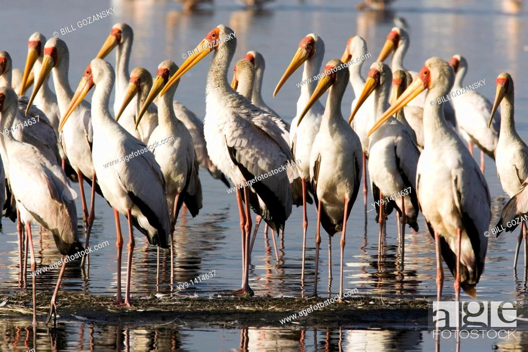Stock Photo: Yellow-Billed Storks - Lake Nakuru National Park, Kenya.