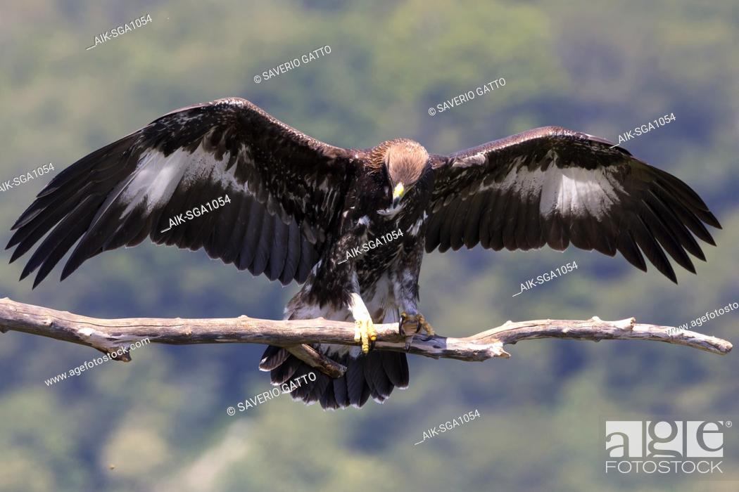 Stock Photo: Golden Eagle (Aquila chrysaetos), juvenile spreading its wings on a dead branch.