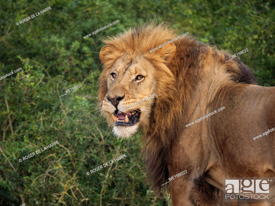 Stock Photo: Lion (Panthera leo) showing flehmen position, flehmen reaction, flehmen response or flehmening in responce to smelling a female's urine. Eastern Cape.