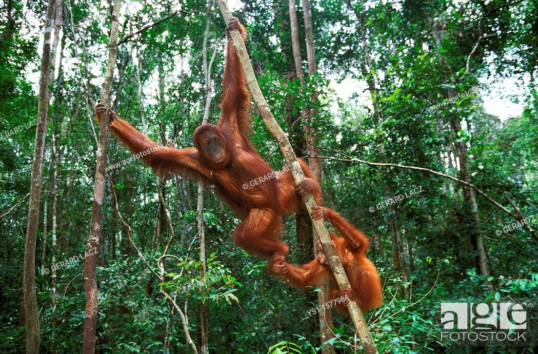 Stock Photo: Orang Utan, pongo pygmaeus, Female with Young Hanging from Branch, Borneo.