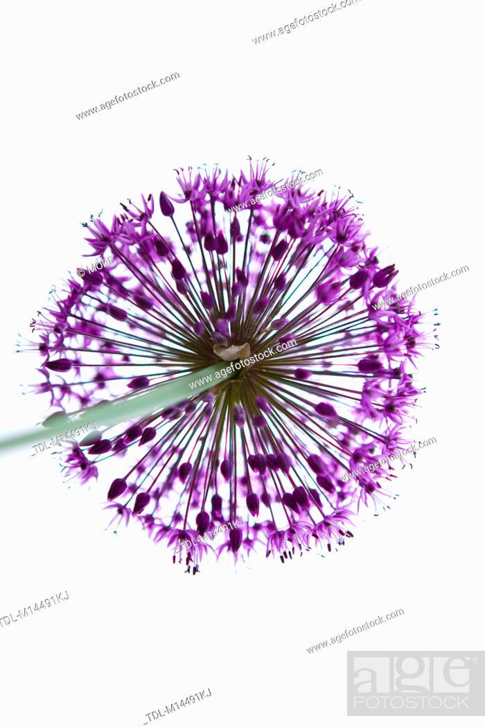 Stock Photo: A purple allium flower head, shot from below.