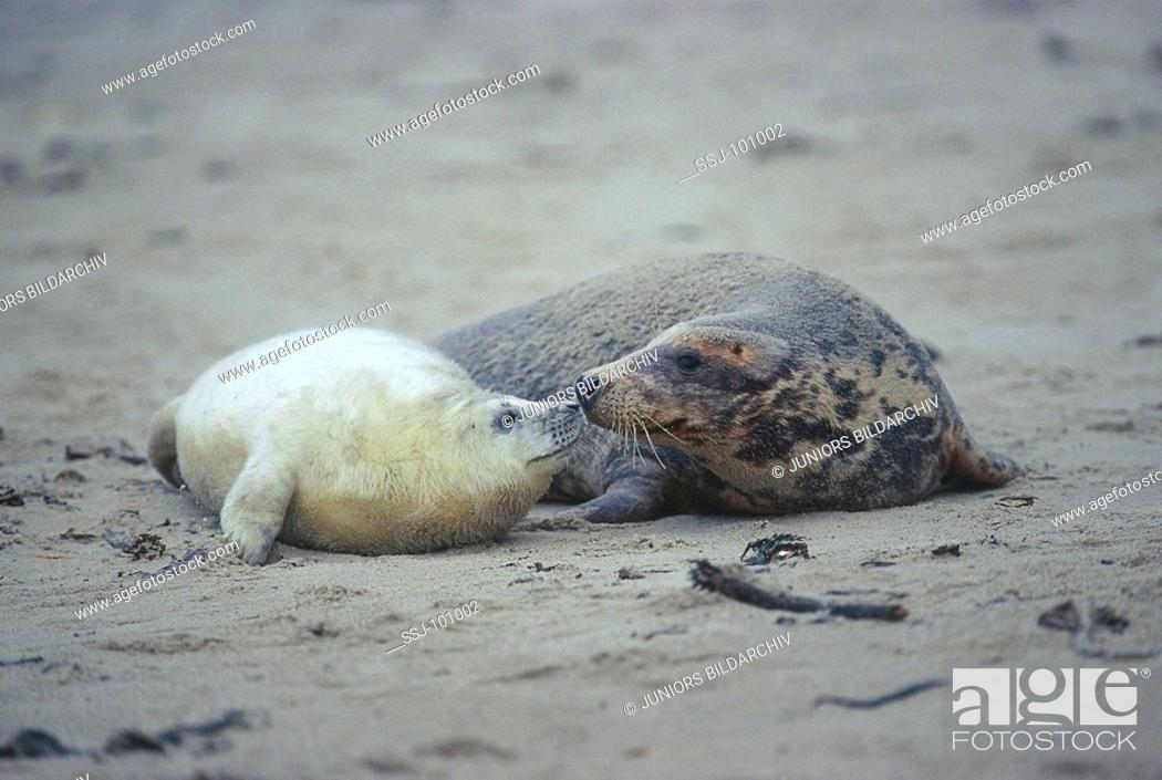 Stock Photo: Halichoerus grypus / gray seal.