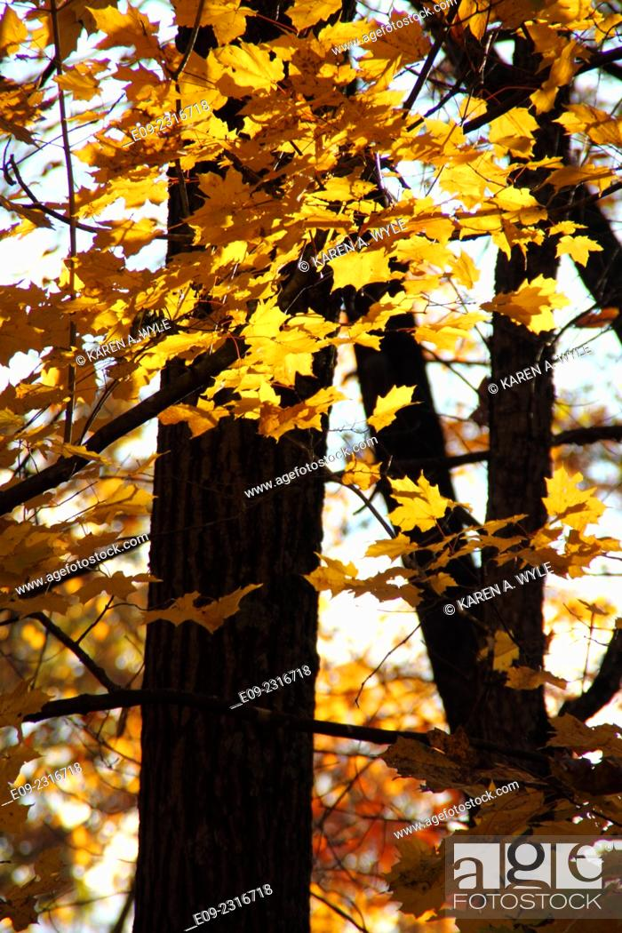 Stock Photo: golden maple leaves against tree trunks in autumn, Monroe County, Indiana.