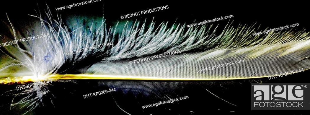 Stock Photo: White feather close up with black background.