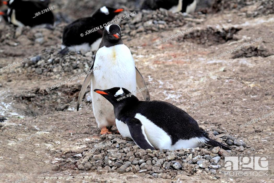 Stock Photo: Gentoo Penguins (Pygoscelis papua), brooding adult pair on nest, Half Moon Island, Antarctica.