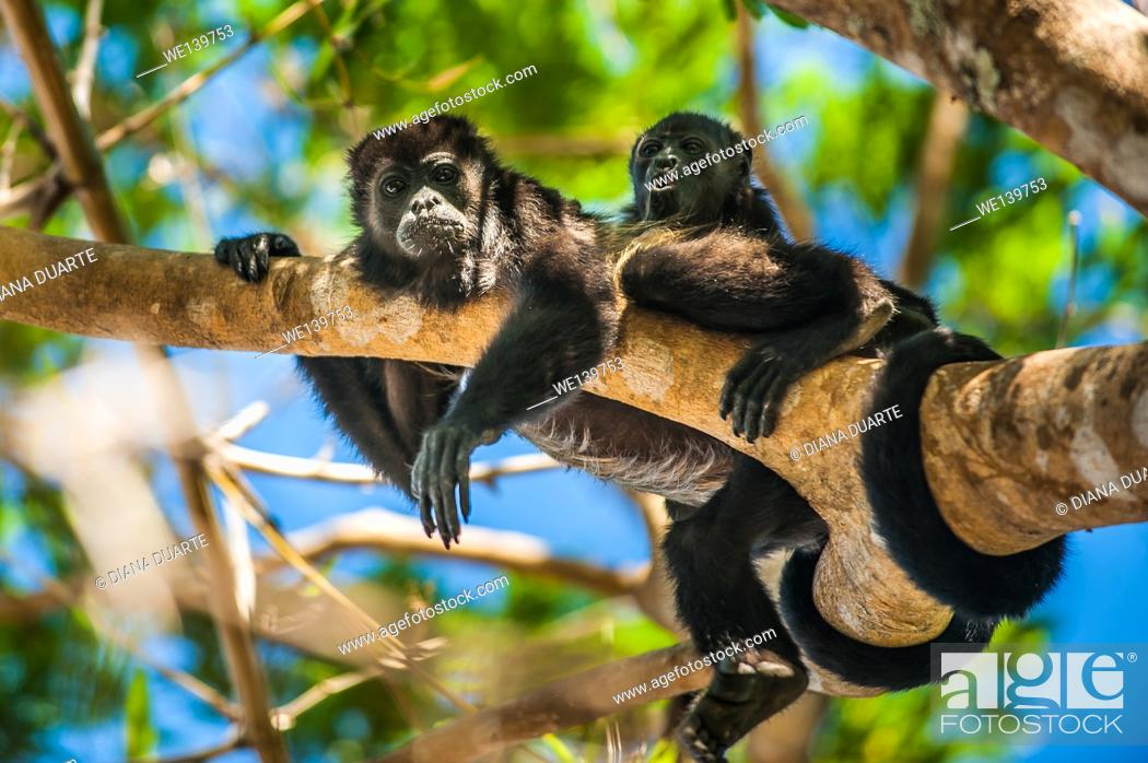 Stock Photo: howler monkey, National Park of Palo Verde, Costa Rica. Adults are black with brown or blonde saddles; infants are silver to golden brown and become.