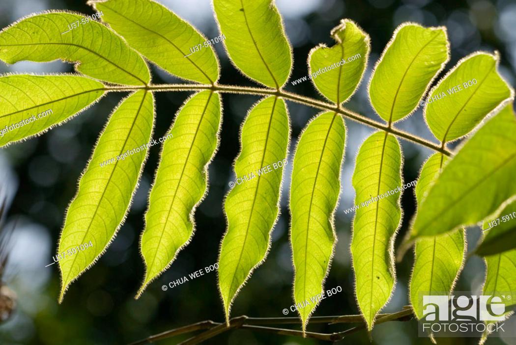 Stock Photo: Shooting backlit hairy leaves at Semengoh Wildlife Centre, Kuching, Sarawak, Malaysia.