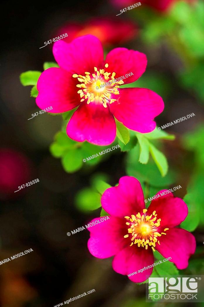 Stock Photo: Two Single Red Rose Flowers. Rosa 'Doorenbos Selection'.