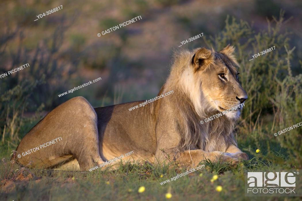 Stock Photo: African lion (Panthera leo) -Young, Kgalagadi Transfrontier Park, Kalahari desert, South Africa/Botswana.