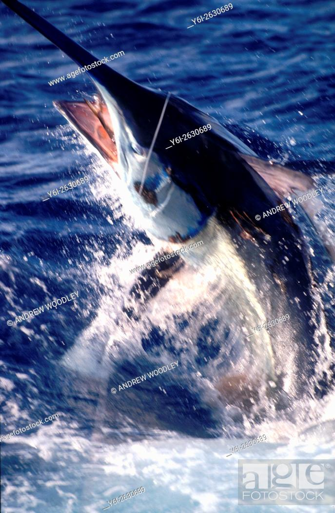 Stock Photo: Graphic motion 959 pound black marlin with mackerel bait jumping Lizard Island Queensland Australia.