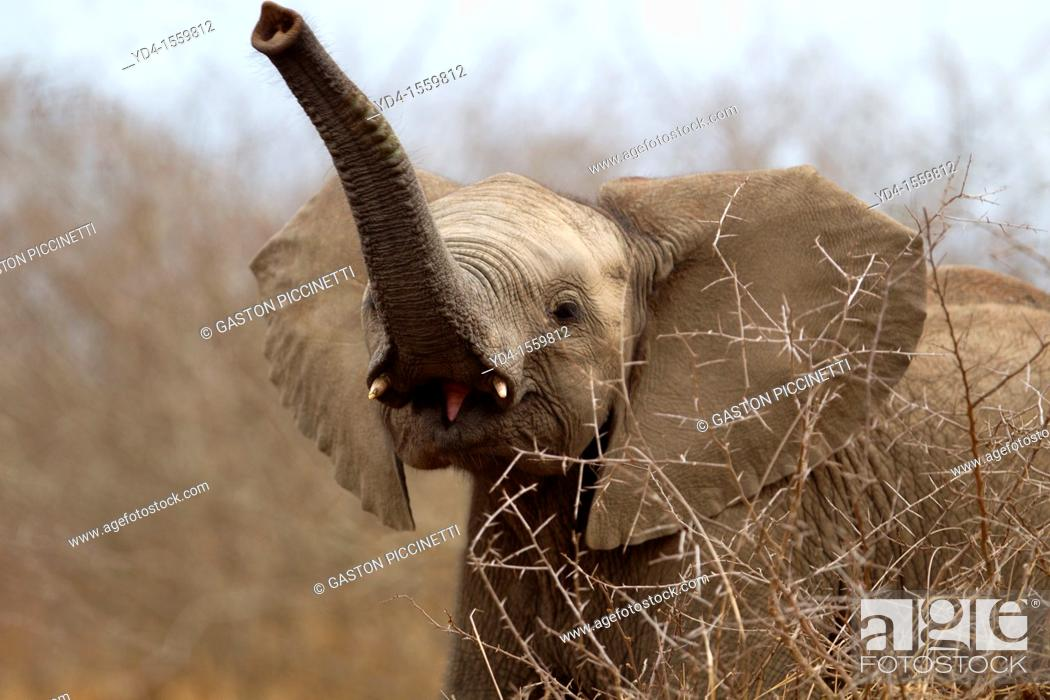 Stock Photo: African Elephants Loxodonta africana - Young, Kruger National Park, South Africa.