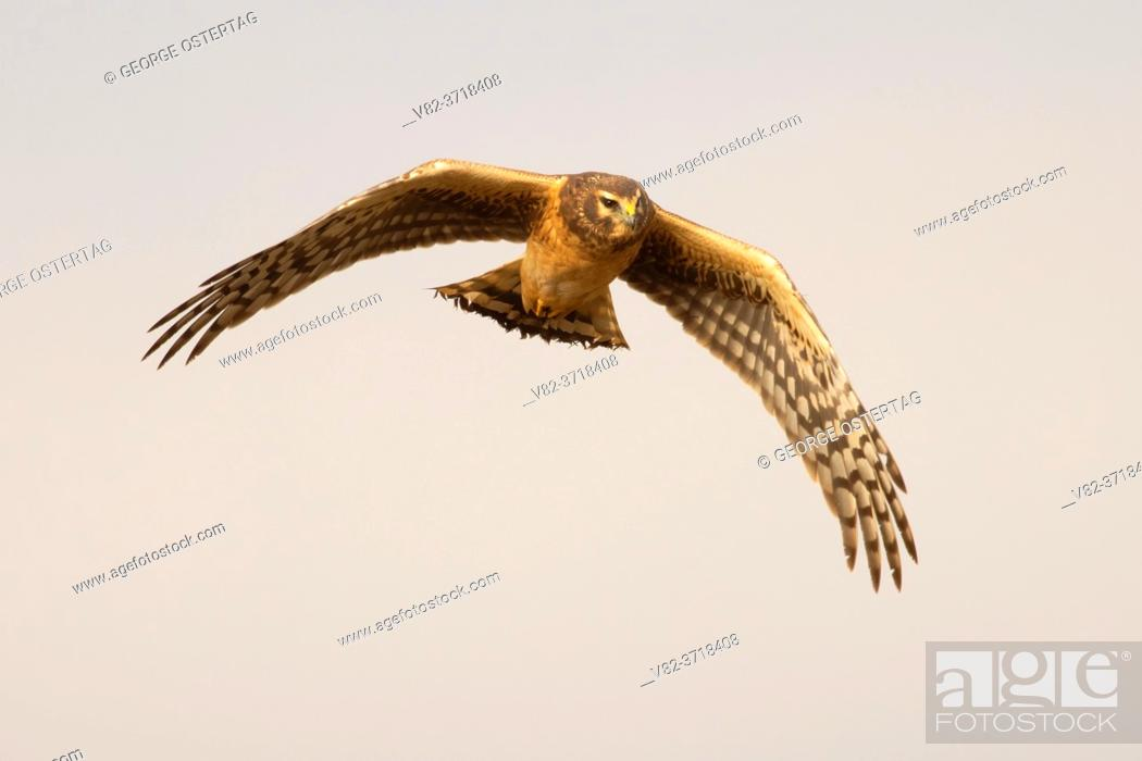 Stock Photo: Northern harrier (Circus hudsonius) in flight, William Finley National Wildlife Refuge, Oregon.