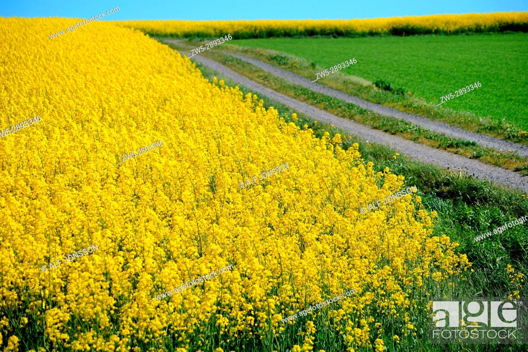 Stock Photo: Tiny road through field of rape in Scania, Sweden.