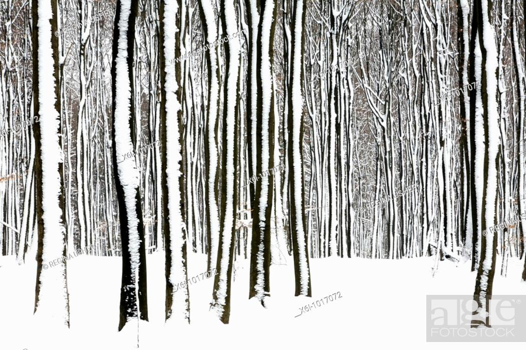 Stock Photo: Beech tree stems, Fagus sylvatica, in woodland, covered in snow, Germany.