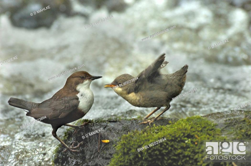 Stock Photo: dipper Cinclus cinclus, adult bird feeding young, Germany, East Westphalia, Apr 05.