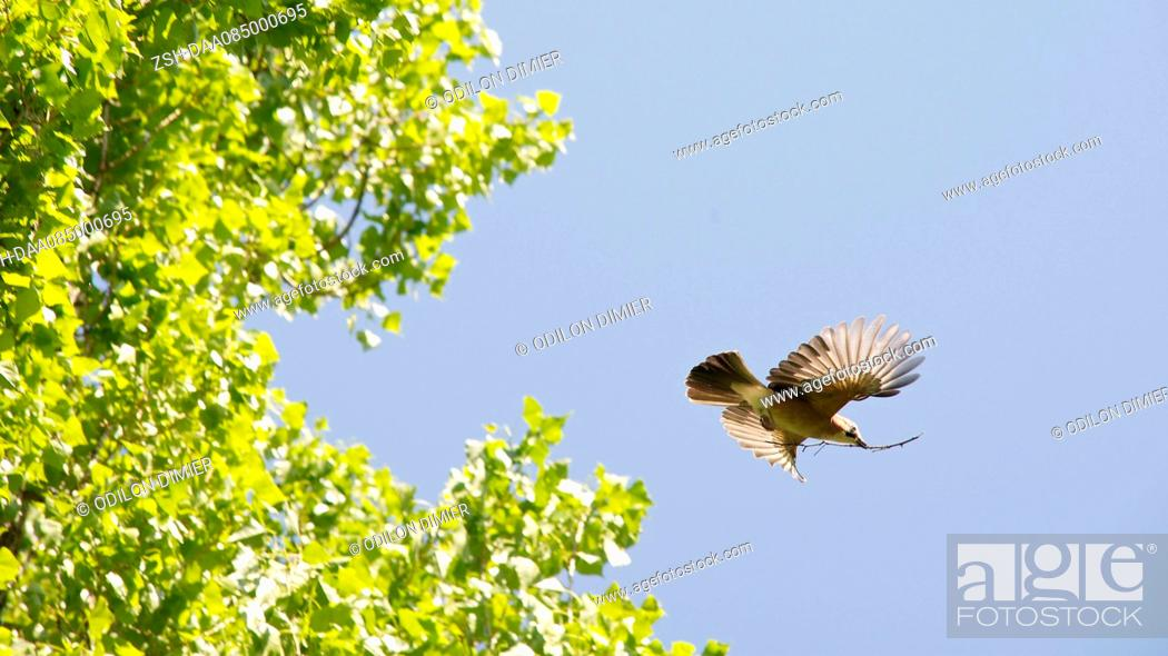 Stock Photo: Bird flying, carrying twig.