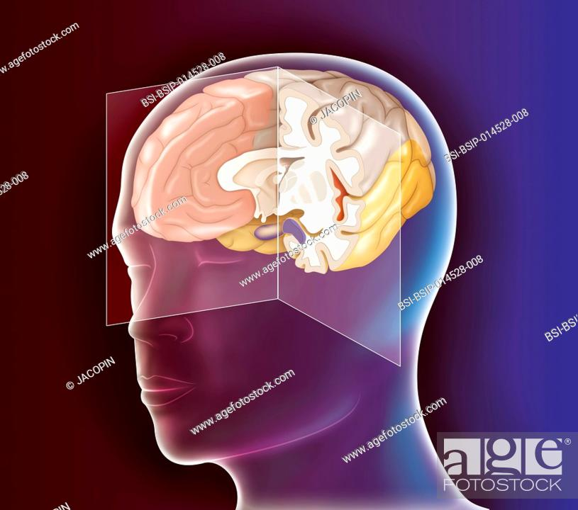 Illustration Of The Anatomy Of The Brain On A Medial Sagittal Plane