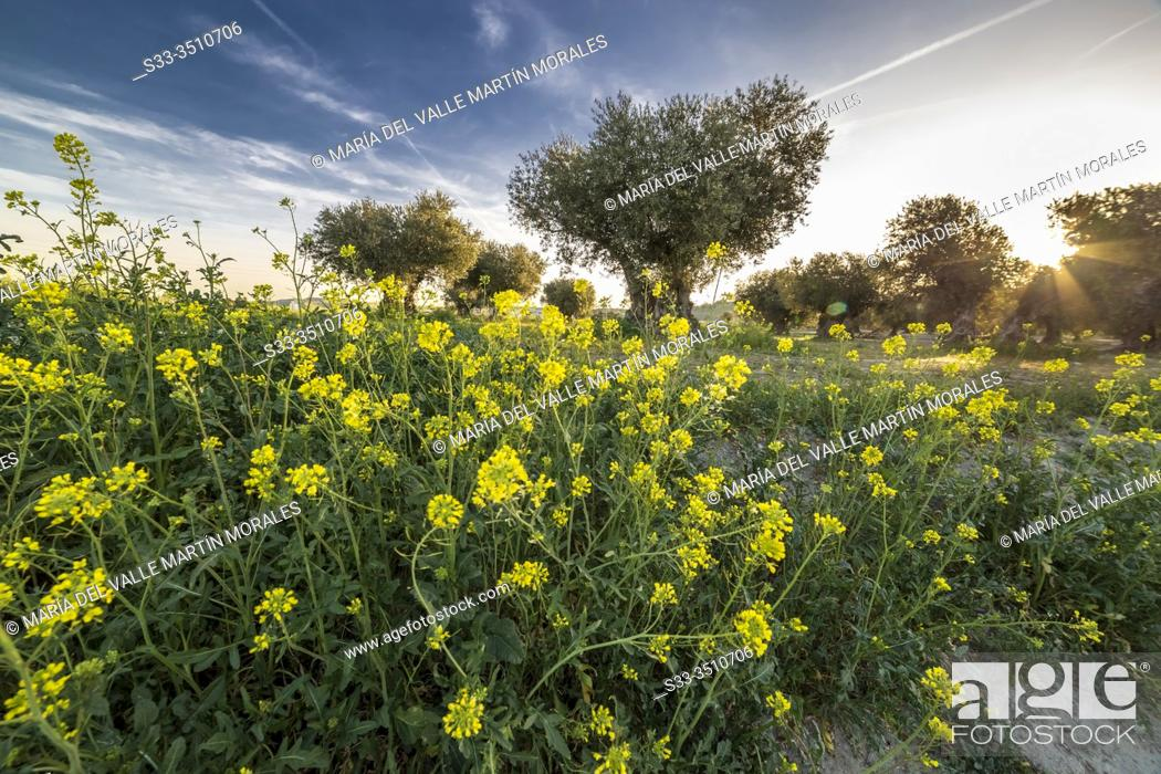 Stock Photo: Diplotaxis tenuifolia and olive trees at spring time in Pinto. Madrid. Spain. Europe.