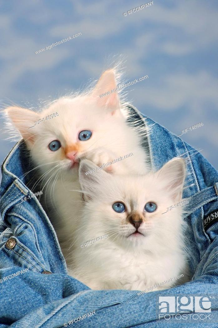 Stock Photo: Sacred cat of Burma - two kittens in jeans.