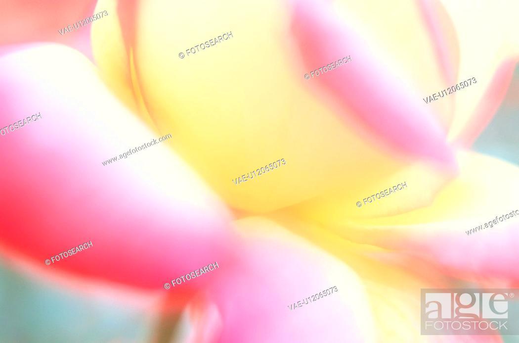 Stock Photo: Petals Of Rose.