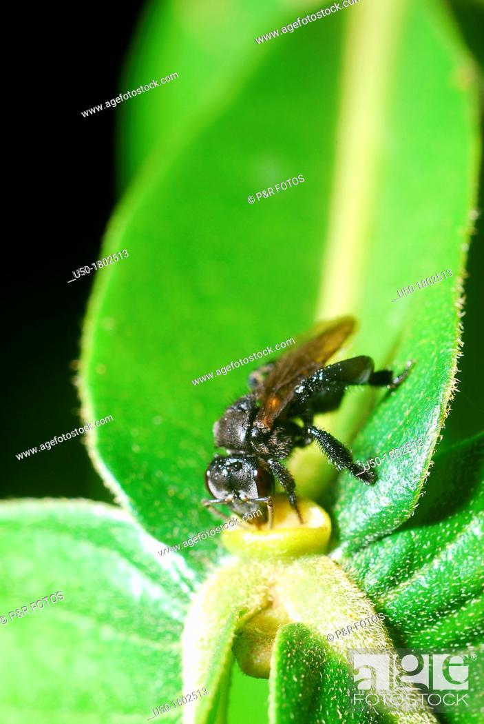Stock Photo: Stingless bee collecting nectar in extrafloral nectary Trigona, Meliponini, Apidae, Hymenoptera  2012.