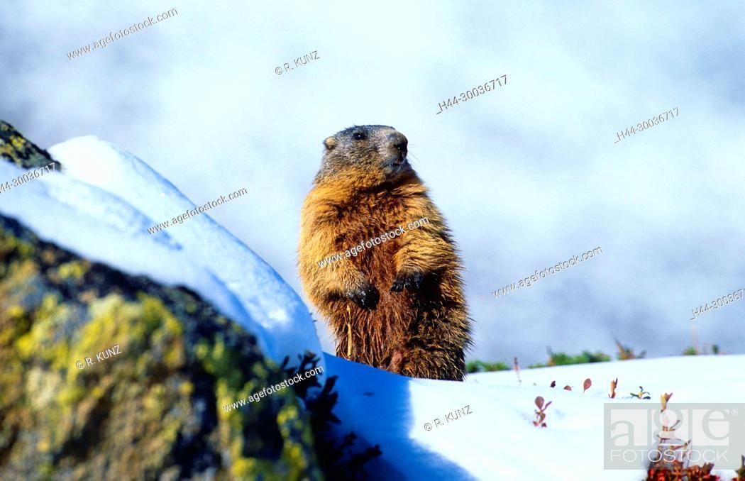 Stock Photo: Alpine Marmot, Marmota marmota, Sciuridae, Marmot, mammal, animal, Dischmatal, Davos, Alps, Canton of Graubünden, Switzerland.