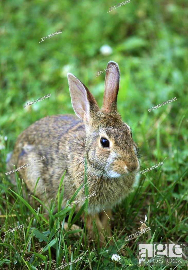 Stock Photo: Eastern cottontail rabbit, .