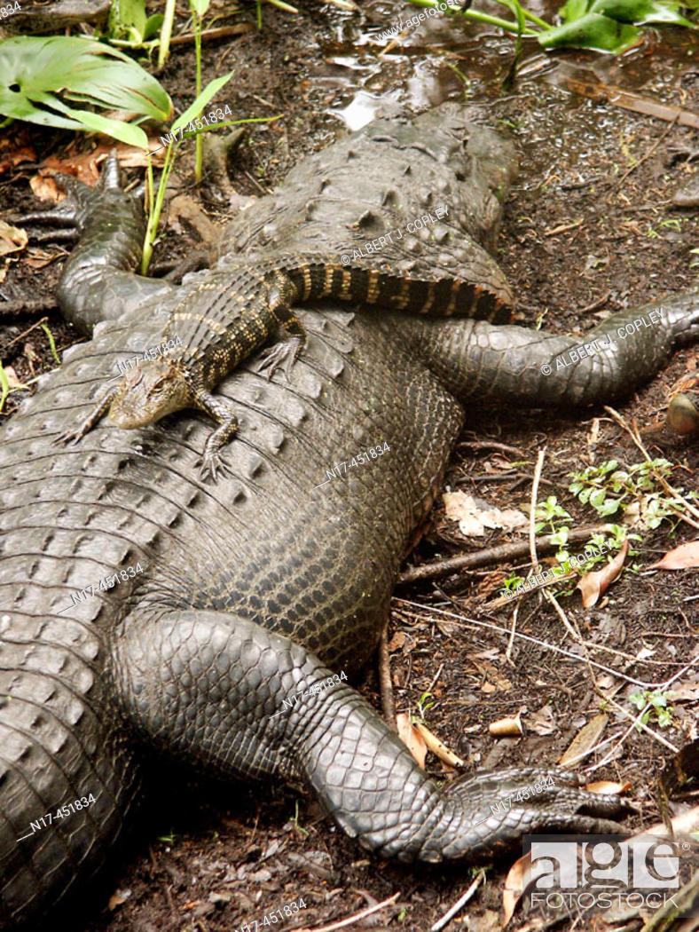 Stock Photo: Florida Everglades, American alligator.
