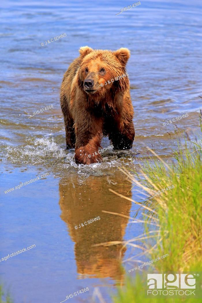 Stock Photo: Grizzly Bear, (Ursus arctos horribilis), adult in water, Brookes River, Katmai Nationalpark, Alaska, USA, North America.