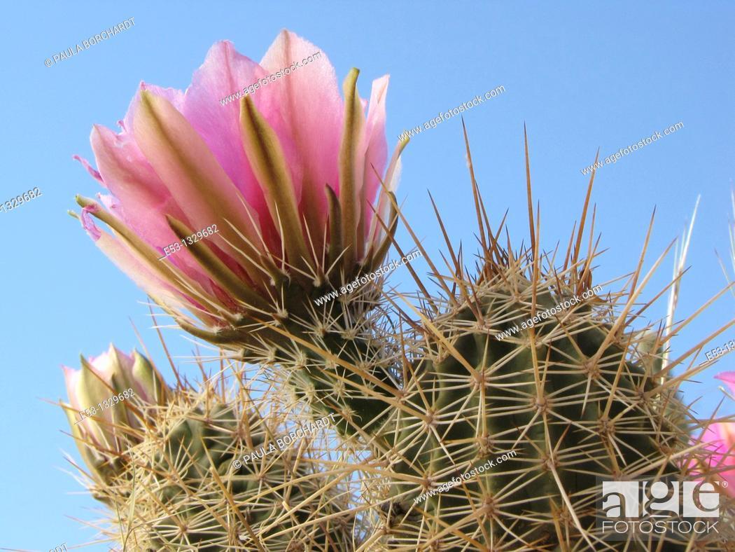 Stock Photo: Hedgehog cactus Echinocereus  in bloom with pink flowers, Tucson, Arizona, USA.