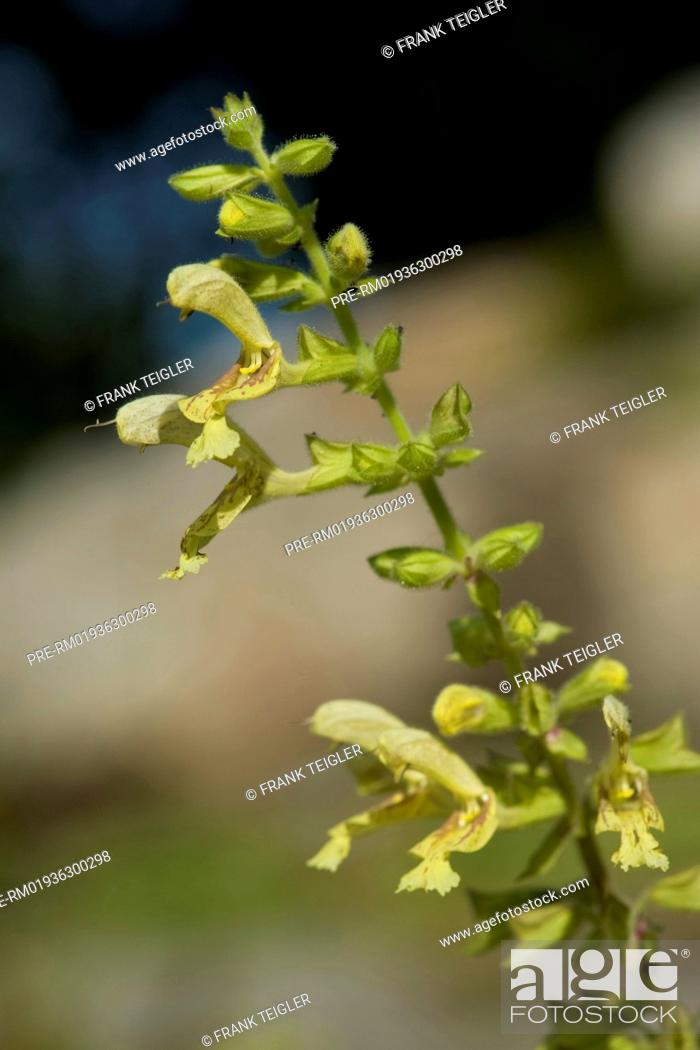 Salvia glutinosa Klebriger Salbei