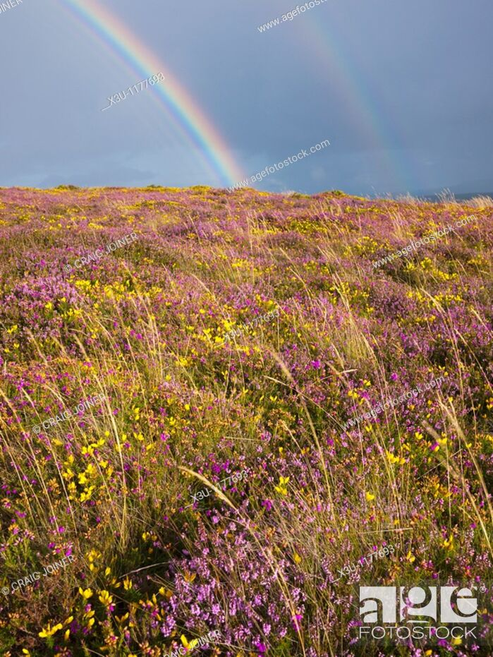 Stock Photo: August, Britain, British, Calluna Vulgaris, Cloud, Clouds, Cloudy, Country, Countryside, England, English, Europe, European, Exmoor, Flower, GB, Gorse.