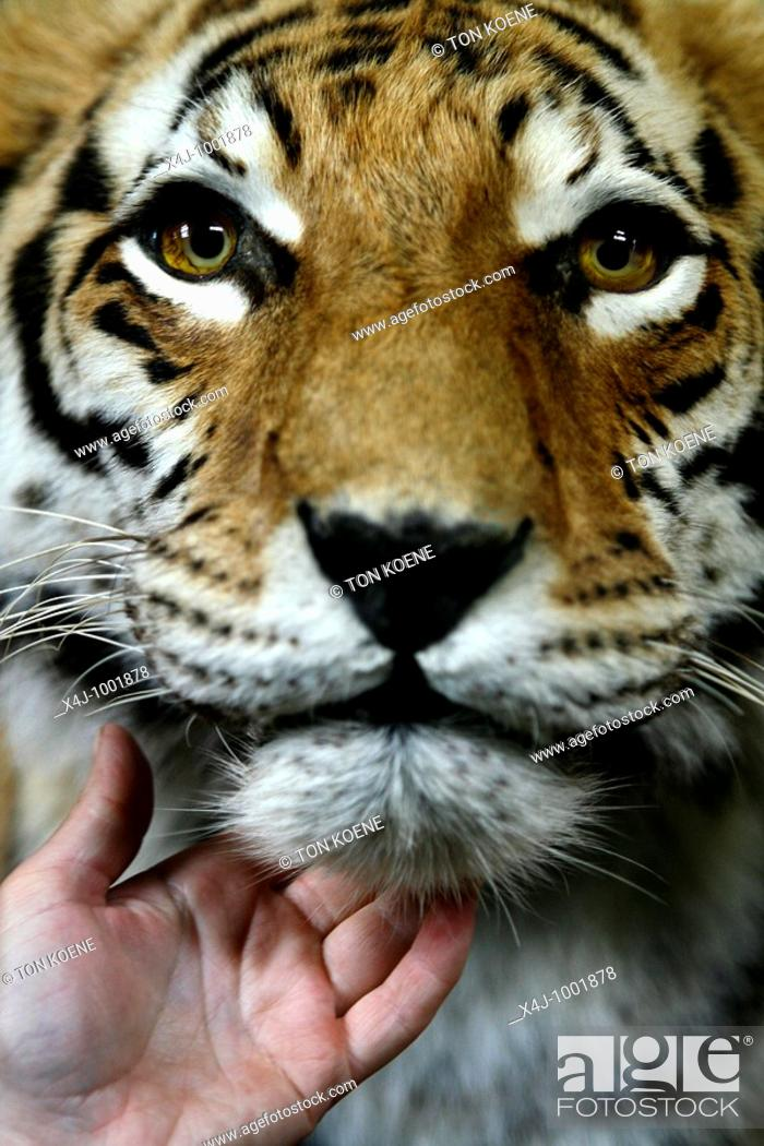 Stock Photo: artis: zoo in the centre of Amsterdam: the tiger.