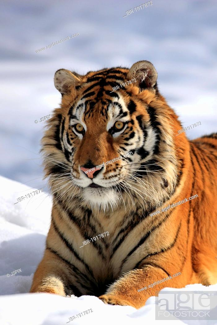 Stock Photo: Siberian Tiger (Panthera tigris altaica), portrait, snow, winter, Asia.