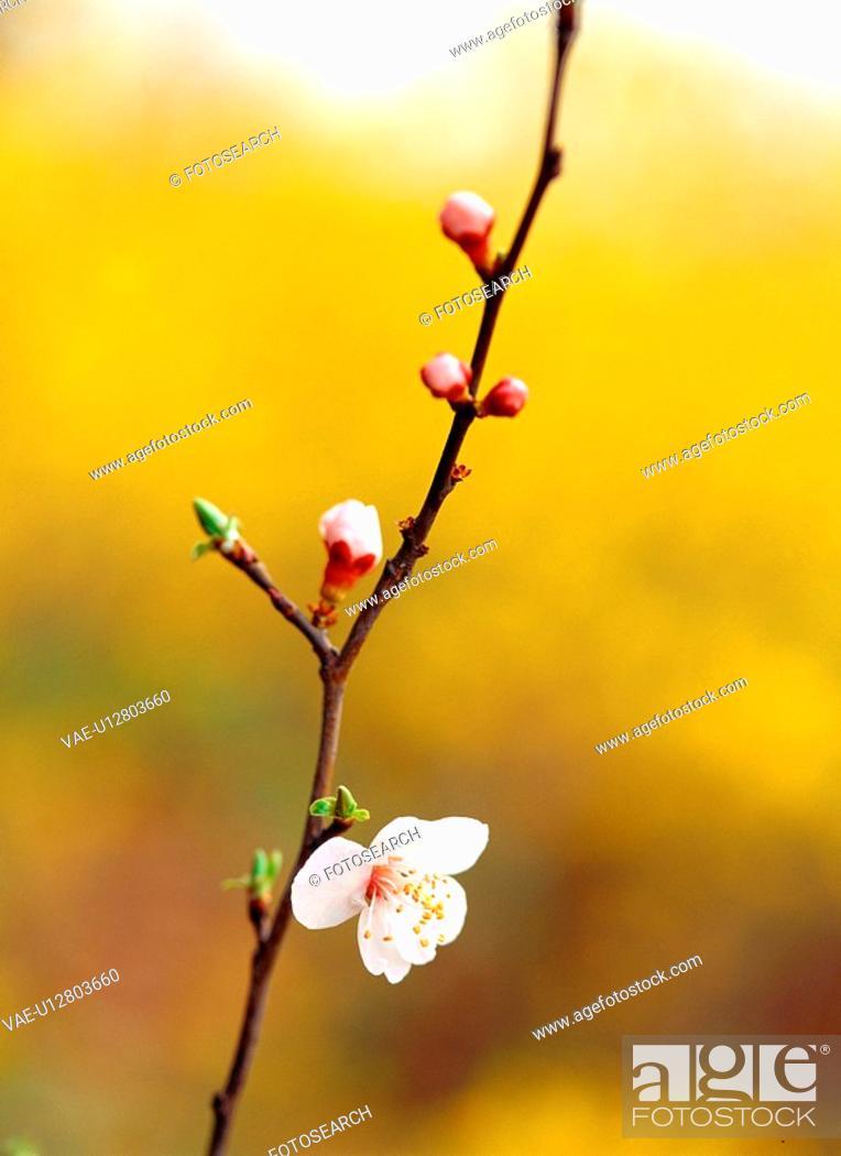 Stock Photo: cherryblossoms, spring, flower, plant, nature, film.