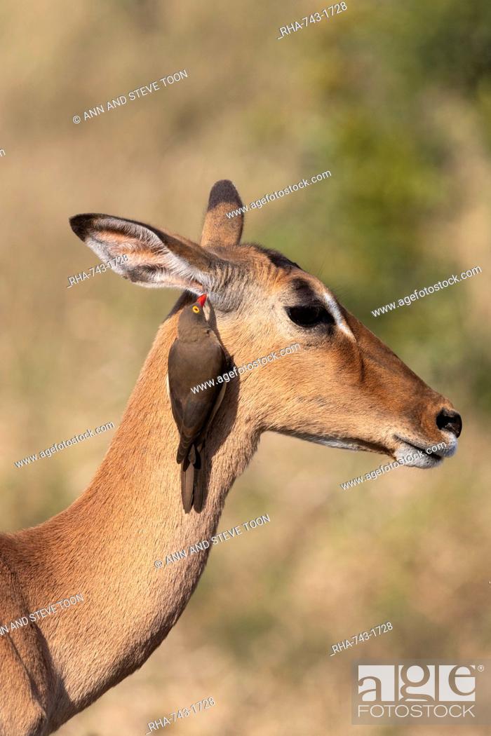 Stock Photo: Red billed oxpecker, Buphagus erythrorhynchus, on impala, Aepyceros melampus, iMfolozi game reserve, South Africa.