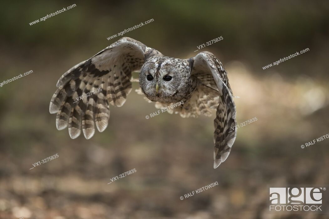 Imagen: Tawny Owl ( Strix aluco ) in flight, flying, hunting, beating its wings, frontal shot, attentive bright wide open eyes.