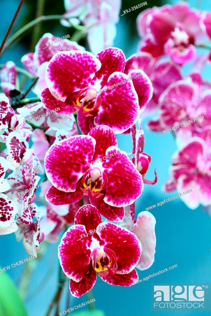 Stock Photo: Doritaenopsis orchid, Orchid Flower in the garden, borneo, asia.
