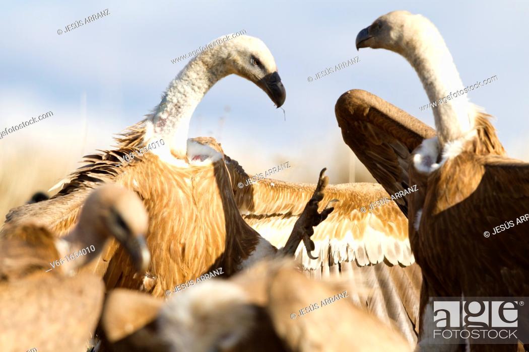 Imagen: Griffon Vulture.
