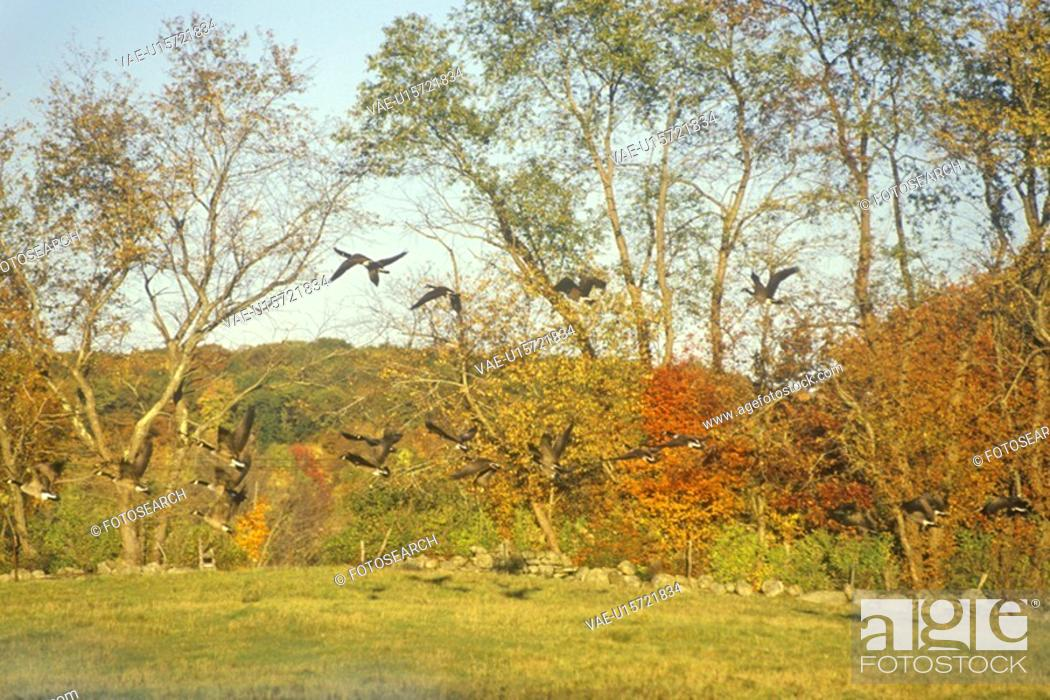 Stock Photo: Autumn flight of Canadian Geese.