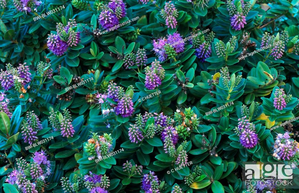 veronica Hebe x andersonii, several plants seen from above, Stock ...