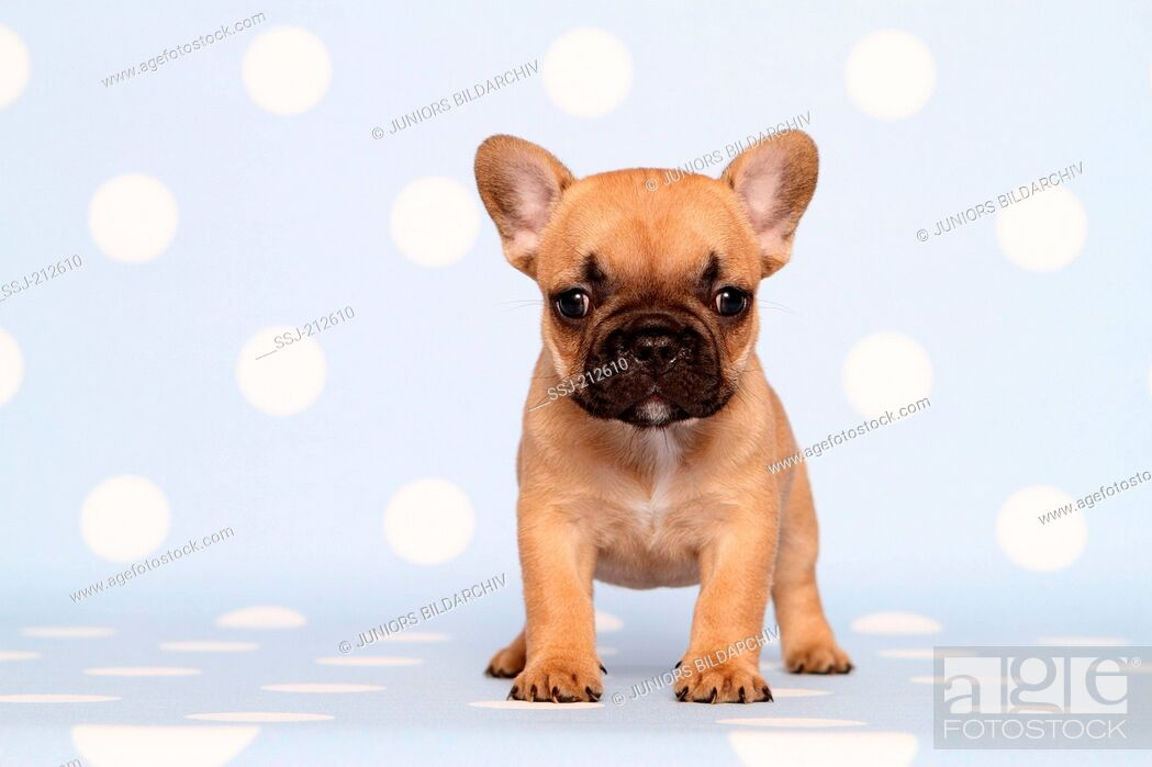 Imagen: French Bulldog. Puppy (6 weeks old) standing. Studio picture against a blue background with white polka dots. Germany.