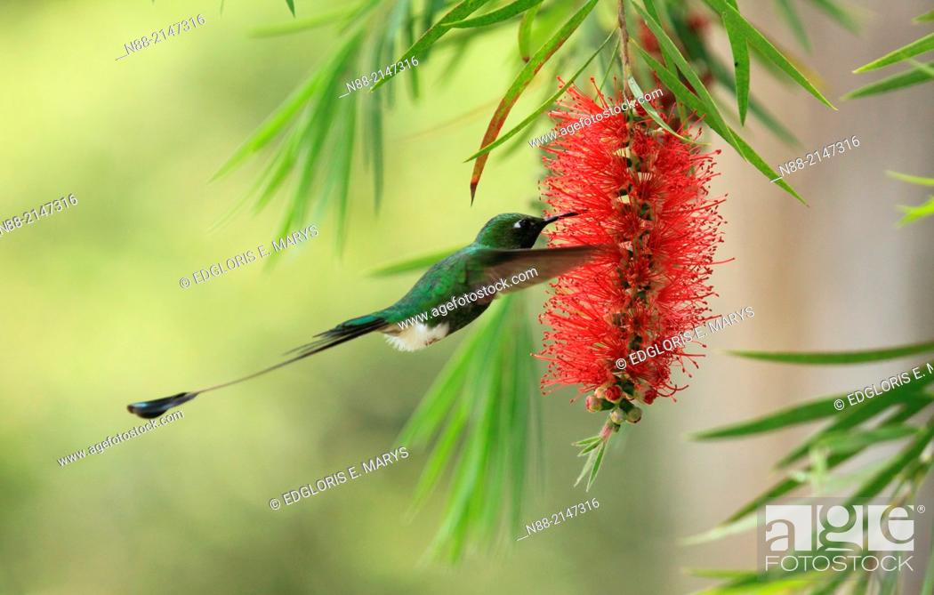 Stock Photo: Raquet-tailed Puffleg hummingbird Caracas Venezuela.