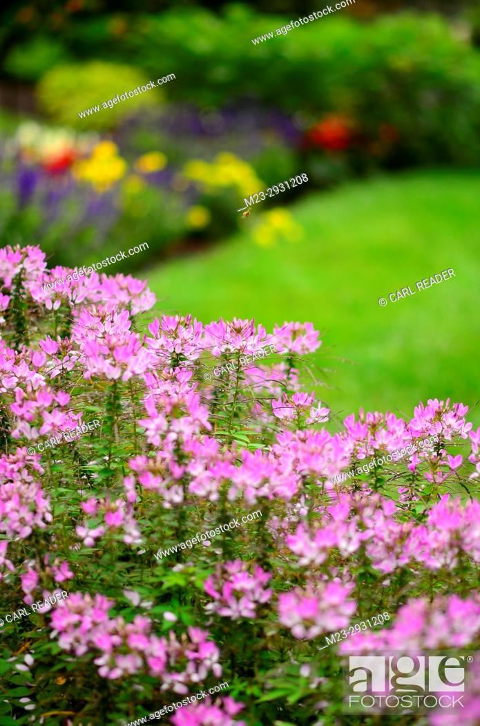 Stock Photo: Cleome flowers form the foreground of a garden, Pennsylvania, USA.