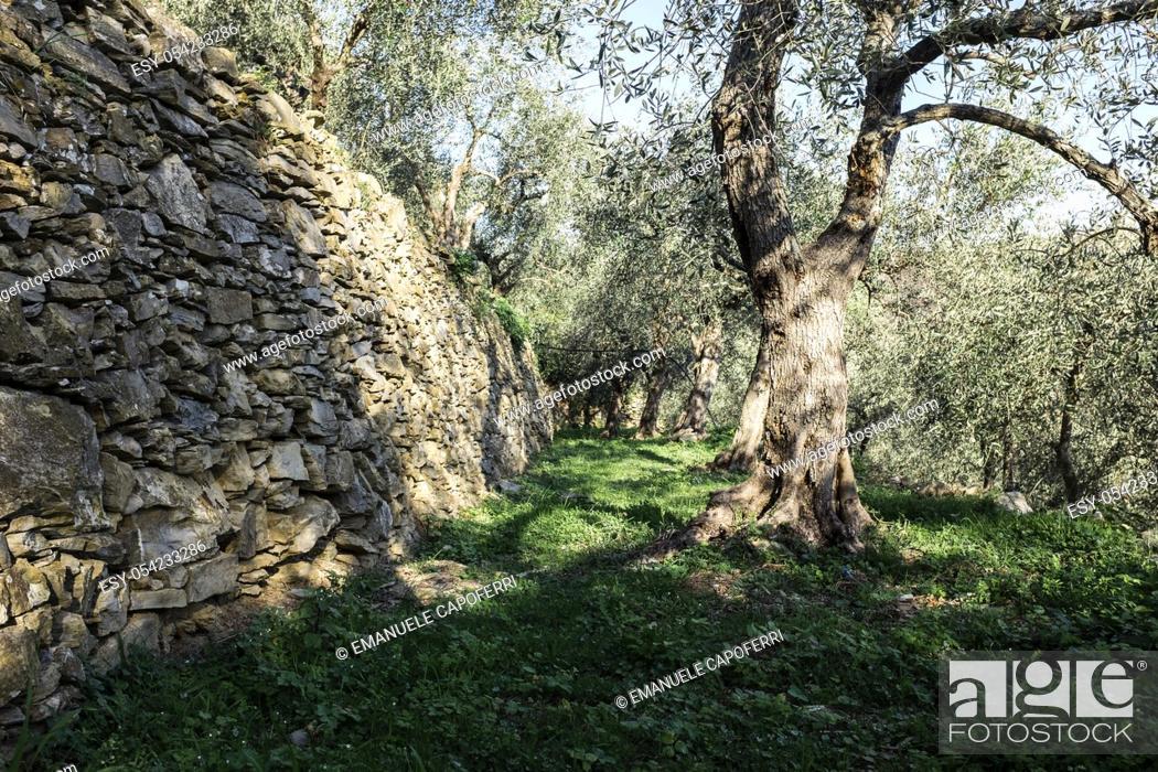 Stock Photo: Olive trees, Villatalla, Liguria, Italy.