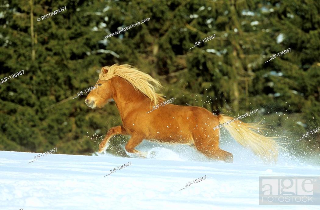 Stock Photo: Icelandic horses - running in snow.