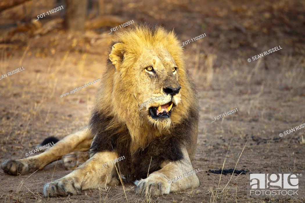Stock Photo: A male lion lying down, sunlight shining on face.