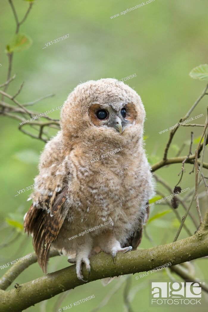 Stock Photo: Tawny Owl / Waldkauz ( Strix aluco ), young fledgeling, owlet, moulting chick, perched on a branch, its dark brown eyes wide open, cuteness, wildlife, Europe.