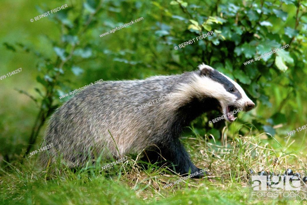 Stock Photo: Badger Meles meles, feeding on cherries fallen down, beech forest, Bavaria.